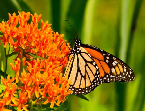 Richmond Hill is a Butterflyway place to live!